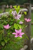 Flowering clematis on garden fence