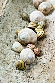 Collection of empty Roman snail shells and banded snail shells in old piece of roof tile