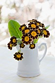 Primula auricula flowers in white jug on windowsill