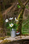 Anemones in milk can (dolls' house accessory) on mossy wood in garden