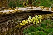 Primrose flowers arranged in hollow log