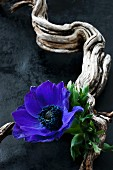 Anemone flower and gnarled branch