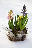 Hyacinths in nest of moss and birch bark