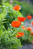 Vibrant red poppy flowers