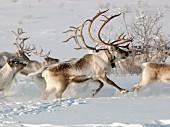 Reindeer running through snowy landscape (Karasjok, Norway)