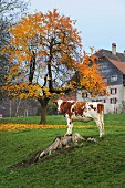 Autumnal atmosphere with cow in meadow