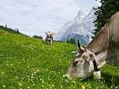Graue Alpenkühe beim Grasen