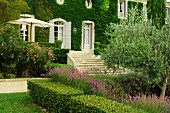 Box hedge surrounding bed of lavender and olive tree in front of climber-covered country manor with wide steps leading to French doors