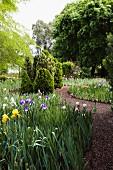 Flowering iris lining meandering gravel path in park-like garden