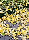 Fallen, yellow gingko leaves on wooden terrace