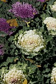 Abgefallene Ginkgoblätter auf Beet mit weißem und violettem Zierkohl