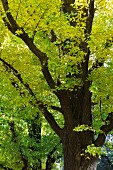 Gingko tree with yellowy green leaves