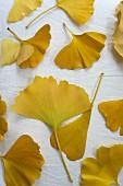 Yellow autumn gingko leaves on white surface
