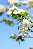 A twig with white apple blossom against a blue sky