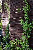 Dunkle Holz Sichtschutzwand teilweise mit Kletterpflanzen im Garten