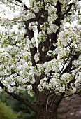 Spring Blossoms on an Apple Tree