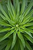 Grünpflanze im Garten (Draufsicht)