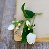 White jasmine flowers on old book