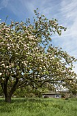 Blossoming fruit tree in meadow