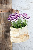 Flowering purple and white horned violets in small pot wrapped in birch bark and raffia hanging from rusty metal fitting on rustic wooden door