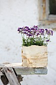 Horned violets in plant pot wrapped in birch bark and raffia