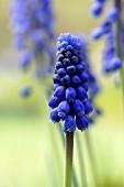 Blaue Traubenhyazinthe (Nahaufnahme)