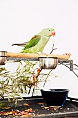 Green parakeet sitting on wooden pole with food dish, twigs, petals and glass bowl on metal base