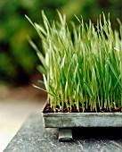 Ornamental grass in galvanised metal planting tray