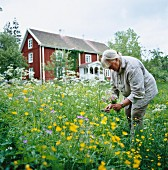 Woman in flowering meadow cutting a bunch of flowers with Swedish wooden house in background