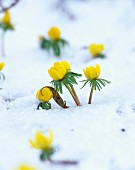 Yellow winter aconite (Eranthis hyemalis) peeping through covering of snow