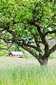 Alter Apfelbaum auf Wiese mit rotem Wohnhaus im Hintergrund