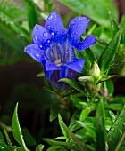 Blue gentian in garden (close-up)