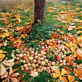 Windfalls and autumnal leaves below apple tree in garden