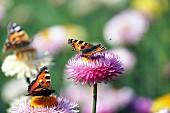 Three butterflies on everlasting flowers