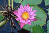 Flowering water lily in pool