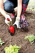 Frau pflanzt Kräuter ein