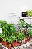 Jungpflanzen in Töpfen zum Verkauf