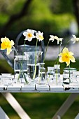 Narcissus flowers in glass vessels of water on table in garden