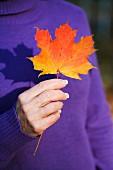 Herbstlich gefärbtes Ahornblatt in der Hand einer Frau mit violettem Winterpullover