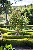 Weissblühender Rosenbusch in der Mitte einer kreisförmigen, niedrigen Hecke in Gartenanlage