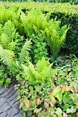 Bed of ferns between garden hedge and stone-paved path