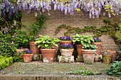 Foliage plants and purple flowering plants in various plant pots below flowering wisteria on garden wall in vintage atmosphere