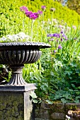 Urn planted with white primulas in front of sunny hedge and composition of purple flowers