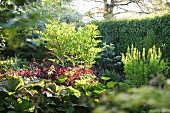 Mature, sunny garden with clipped, deciduous hedge