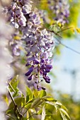 Pendulous wisteria flower racemes in sunshine