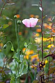 Pale pink poppy, stems and seed heads; yellow pot marigolds in blurred background