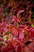 Close-up of Virginia creeper with red autumnal foliage