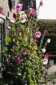 Pink and white hollyhocks