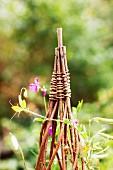 Pea plant climbing up wicker cone