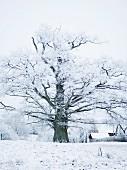 An oak snow covered landscape, Sweden.